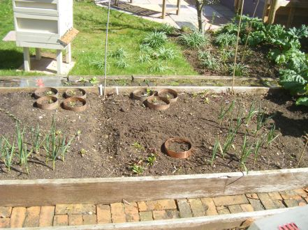 planting out carrots 010