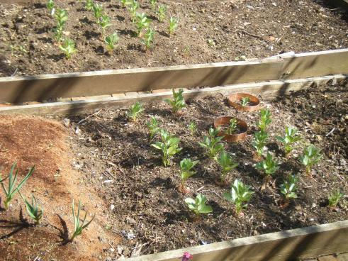 planting out carrots 013.JPG